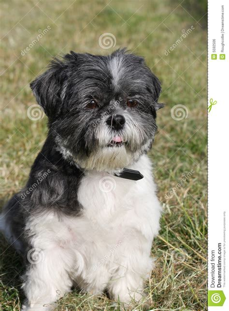shih tzu puppy growth stages pug zu puppy at 7 weeksso sweet bred by midanas designer breeds picture
