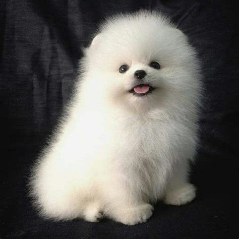 names for pomeranian 1067 best images about pomeranian names and pictures on cutest dogs
