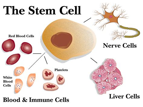 stem cells rakesh
