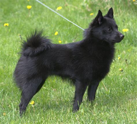 schipperke dogs schipperke dogs breeds pets