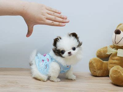 baby puppies for free best 25 pomeranian puppies for free ideas on fluffy puppies fluffy