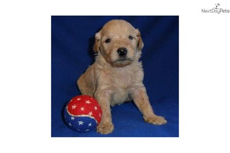 goldendoodle puppy in ohio goldendoodle puppy for sale near akron canton ohio