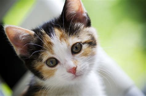kittens and puppies for sale premium pets puppies supplies for purchase petland dallas
