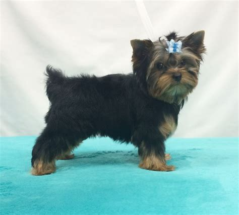 yorkie hair cut chart 1000 images about yorkie hair cuts hairstyles on pinterest