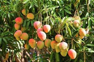 on tree how to grow mango tree in pot