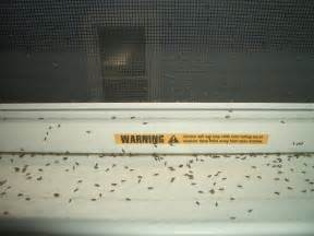 tiny black flying bugs on window sills in the dead of winter ask an expert