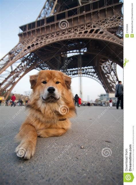 tower dogs lies in front of the eiffel tower royalty free stock photos image 27926868
