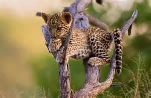 Jaguars Jaguars Jaguar On Tree Baby Jaguar Wallpaper Johnywheels