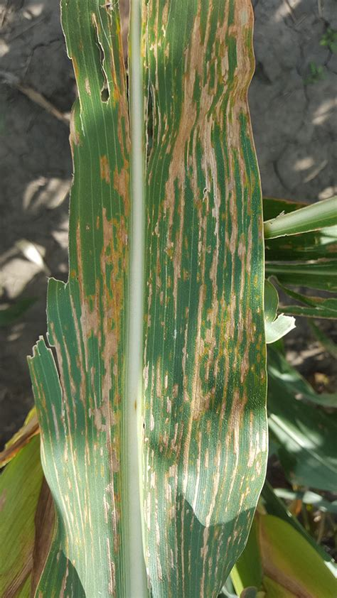 corn plant diseases bacterial leaf streak of corn confirmed in nebraska other