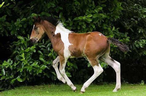 foal  born   amazing horse shaped marking