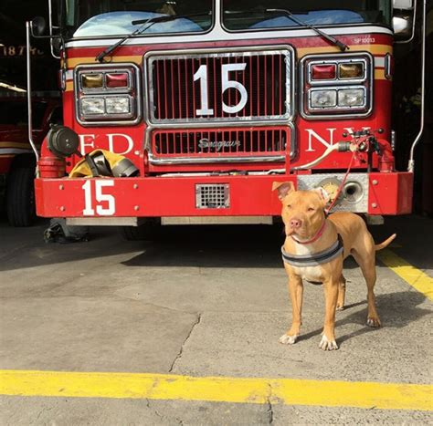 Pit Bull Rescued From Abandoned Crack House Becomes Firehouse Dog