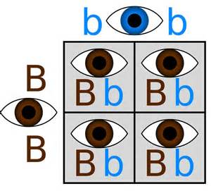 eye color genetics the genetics of eye color brown hairs