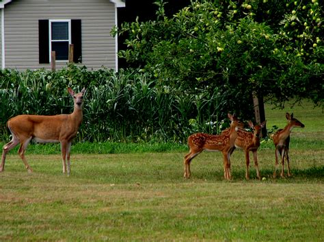 deer in backyard file eastern whitetail deer doe and three fawns at