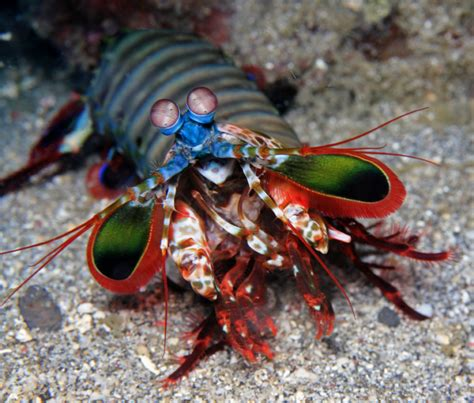 mantis shrimp colors animal of the day 6 15 2012 the mantis shrimp simba