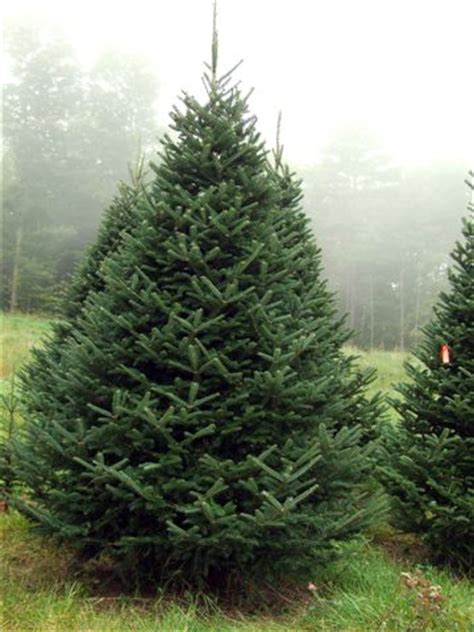 what type of christmas tree lasts the longest trees at mcclure s tree nursery