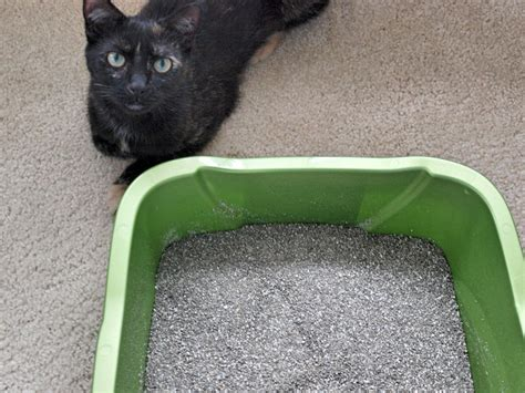 how to litterbox a how to litter box a stray kitten pethelpful