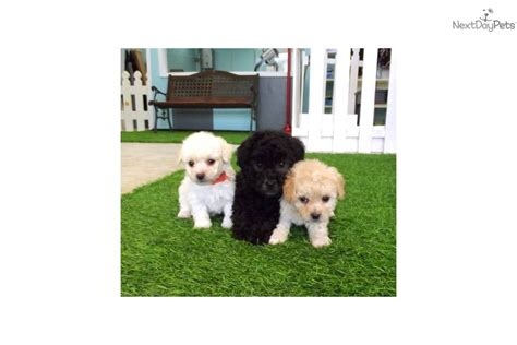 puppies for sale in san diego ca malti poo maltipoo puppy for sale near san diego california 52bbd44c ec91