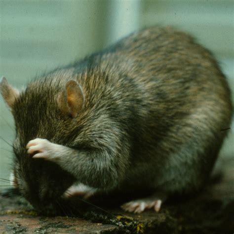 Ratten Vertreiben Ohne Gift 2555 ratten vertreiben ohne gift die besten 78 ideen zu