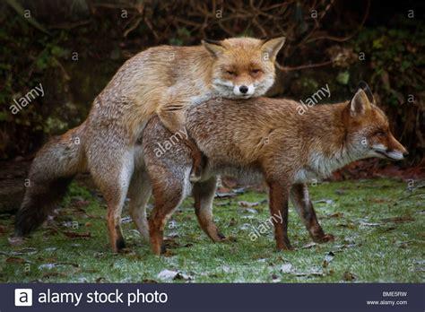 mating foxes kent garden united kingdom wildlife wild animals fox stock photo alamy