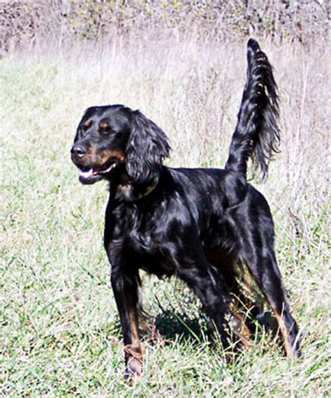 gordon setter hunting dogs for sale gordon setter ultimate upland bird dogs grouse and