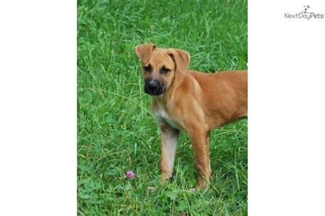 german shepherd boxer puppies german shepherd puppy for adoption near 5821e1ba b5c2