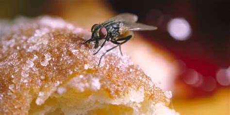 flies on food the disgusting reason you should never eat something a fly