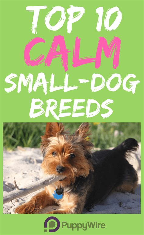 calm small breeds top 10 hypoallergenic small breeds puppywire breeds picture