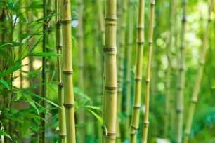 bambus le ces vari 233 t 233 s de bambou adapt 233 es au balcon pratique fr
