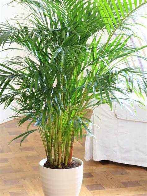 Tolle Zimmerpflanzen by Zimmerpalmen Bilder Welche Sind Die Typischen Palmen Arten
