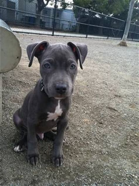 3 month pitbull puppy 3 month blue nose pitbull puppy animals adopt rescue pinte