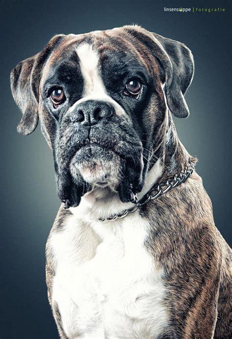 amazing dogs amazing portraits by daniel sadlowski inspirationi