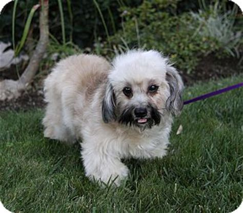 havanese puppies for adoption in california alison adopted puppy newport ca havanese mix