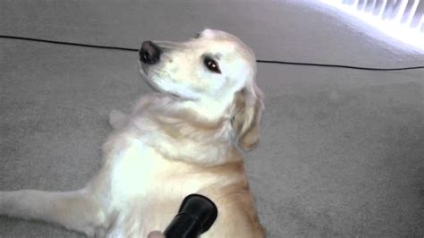 golden retriever shedding season golden retriever puppy letting me vacuum hair his coat shedding 7