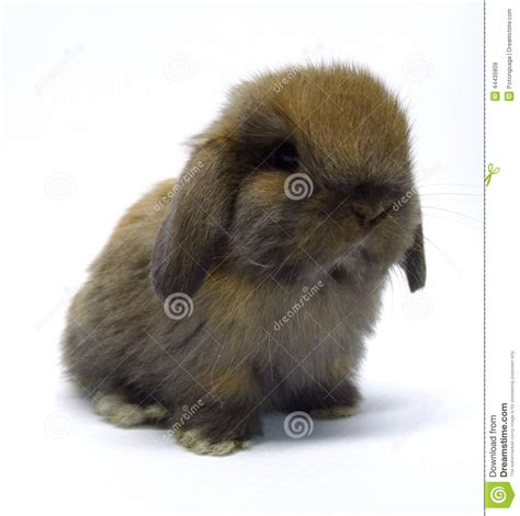 Download Format Lop Kecil | brown and white holland lop rabbit download foto gambar