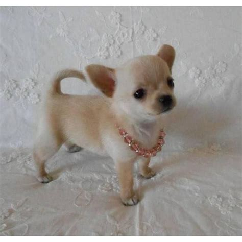 teacup applehead chihuahua puppies for sale best 25 teacup chihuahua ideas on teacup chihuahua puppies teacup