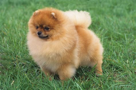 pomeranian breeds pomeranian breed information