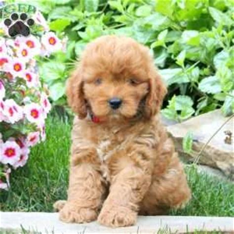 mini goldendoodles omaha ne shipping puppies greenfield puppies