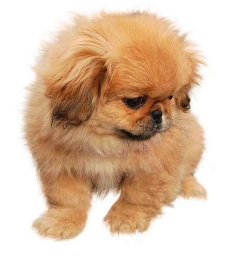 when do pekingese puppies open their eyes pekingese club