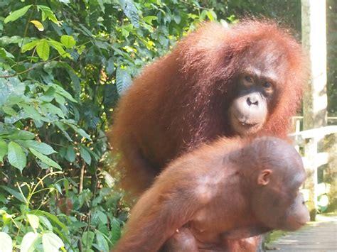 scimmia sedere rosso sabah viaggio in borneo di viaggi
