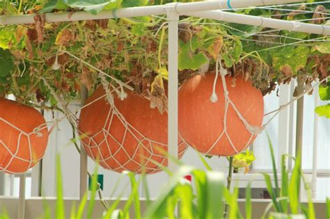 Hanging Pumpkin Patch Potted And Hanging Vegetable Hanging Vegetable Garden