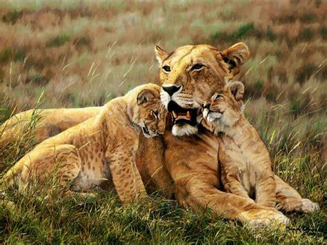 imagenes grandes wallpaper fondos de leones en hd taringa