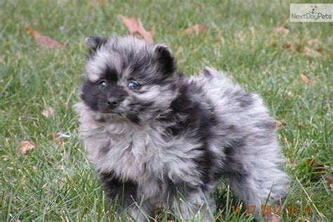 blue eyed pomeranian puppies for sale pomeranian puppy for sale near battle creek michigan cccb61cb 0a21
