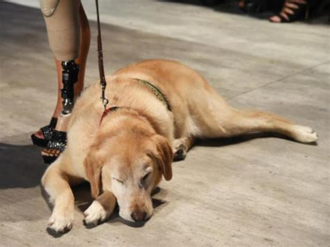 what do service dogs do what does service registration abc15 arizona