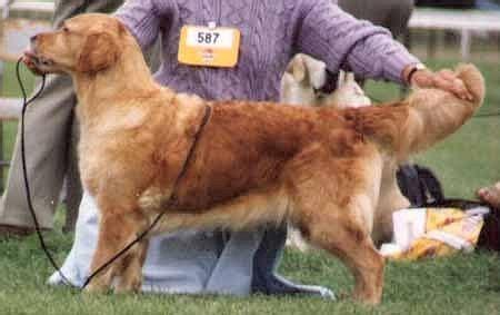 golden retriever puppies south dakota golden retrievers in south dakota akc golden retriever puppies breeds picture