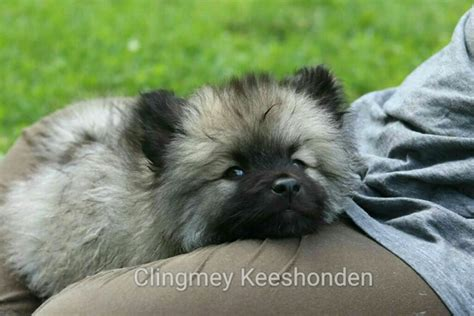 order puppies keeshond puppies running www pixshark images galleries with a bite