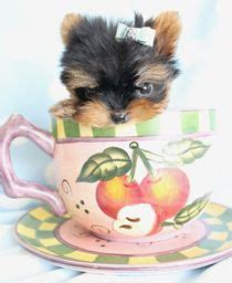 what can yorkies not eat linduritas on yorkie teddy puppies and terrier