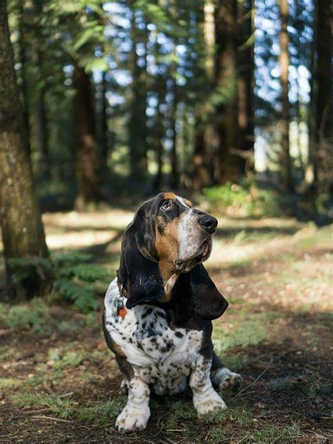 17 best images about basset hound on