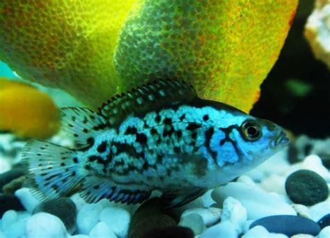 Electric Blue Bigsize dempsey fish size tankmates care lifespan
