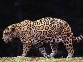 Jaguar Cheetah Animal Free Wallpapers Animal Jaguar Free Wallpapers
