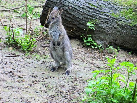 Zoologischer Garten In Köln by Www Zoo Wuppertal Net Bennettsk 228 Nguru
